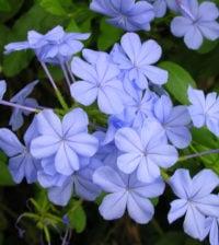 bela emilia flor 44