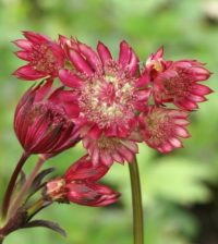 astrancia rosa flor 25
