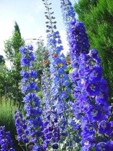 Ranunculaceae - Abelha Azul