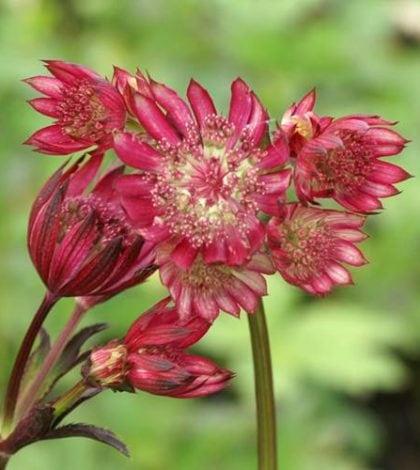 astrancia-rosa-flor-25