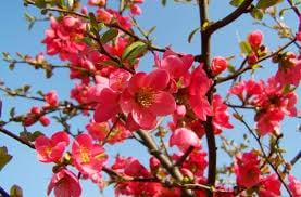 astrancia-rosa-flor-35