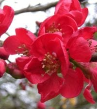 astrancia-rosa-flor-36