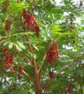 brinco indio familia fabaceae valeriana raiz 810 2