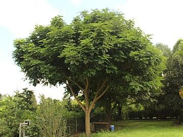 Brinco-de-índio Cojoba arborea