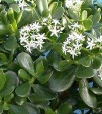 jade planta 33