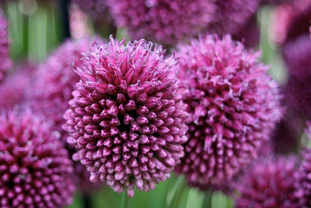 Allium - Família Alliaceae