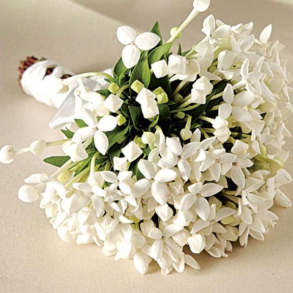 Angélica - Família Agavaceae