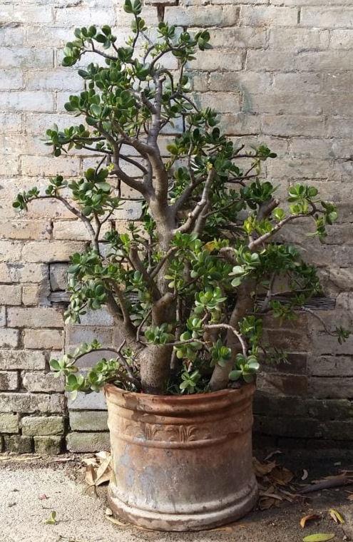 Planta-de-jade - Planta Jade