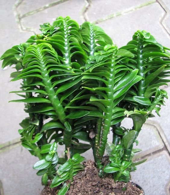 Pedilanthus tithymaloides - Sapatinho Do Diabo