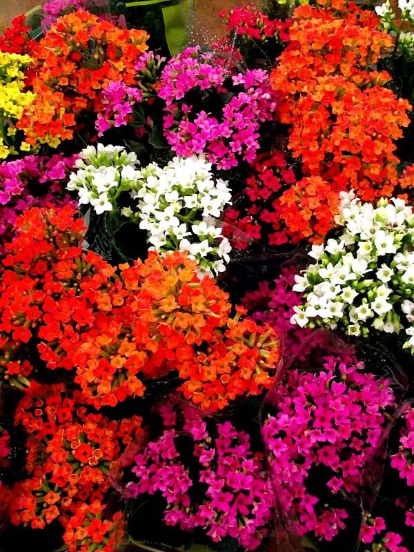 Kalanchoe blossfeldiana - Kalanchoê
