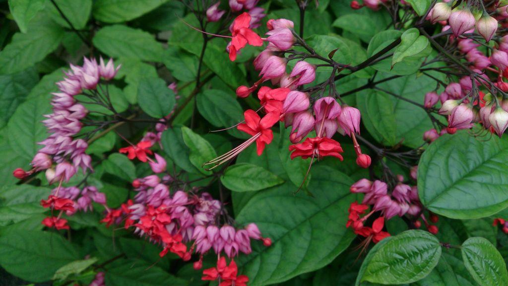 Clerodendron thomsoniae - Lágrimas-de-Cristo