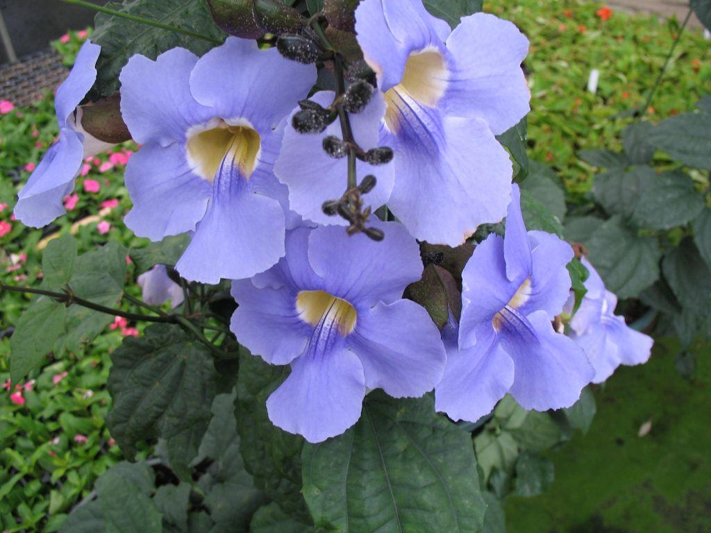 Thunbergia grandiflora - Tumbérgia-azul