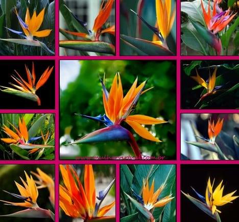 Strelitzia reginae - Estrelicia