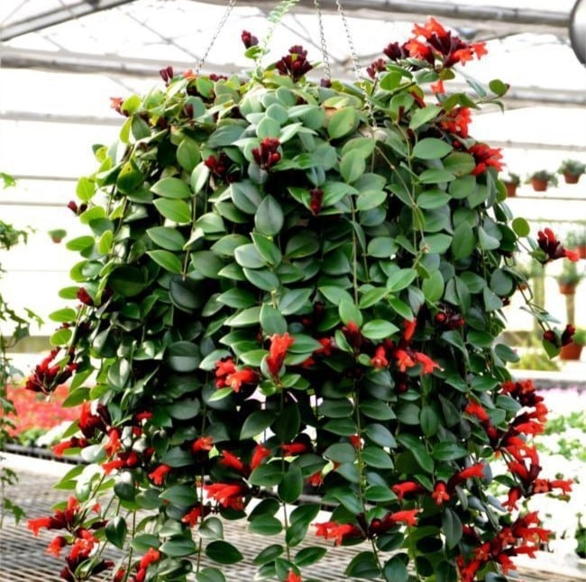 Aeschynanthus radicans - Flor-batom