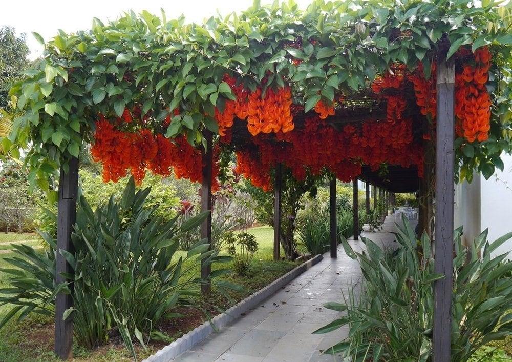 Jade-vermelha – Família Fabaceae