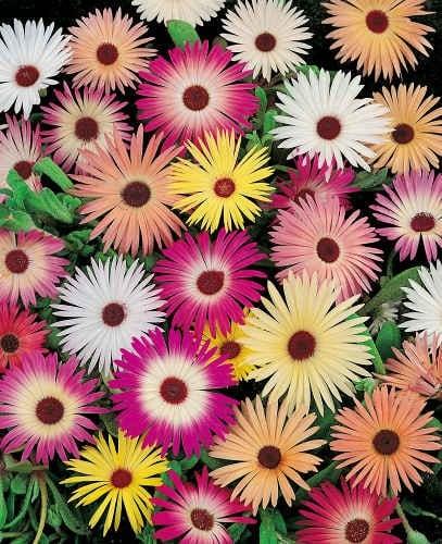 ficoides flor 33