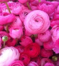 ranunculos flor 45