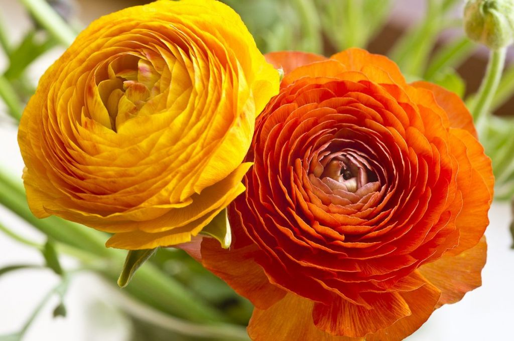 ranunculos-flor-44