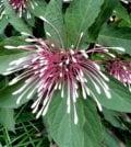cotonete flor 67