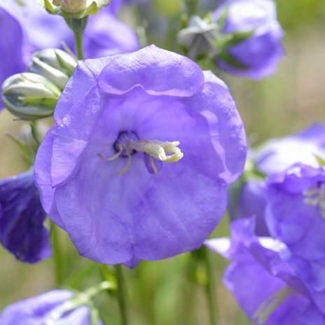 campanula-persicifolia-556