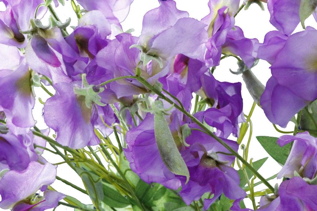 ervilha-cheiro-flor-33
