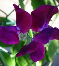 ervilha cheiro flor 34