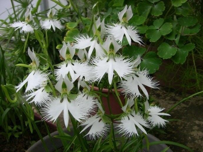orquidea-garca-foto-45