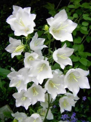 Campânula – Campanula persicifolia