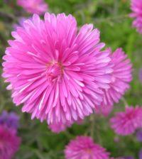 aster china flor 55