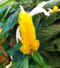 camarao amarelo flor 44