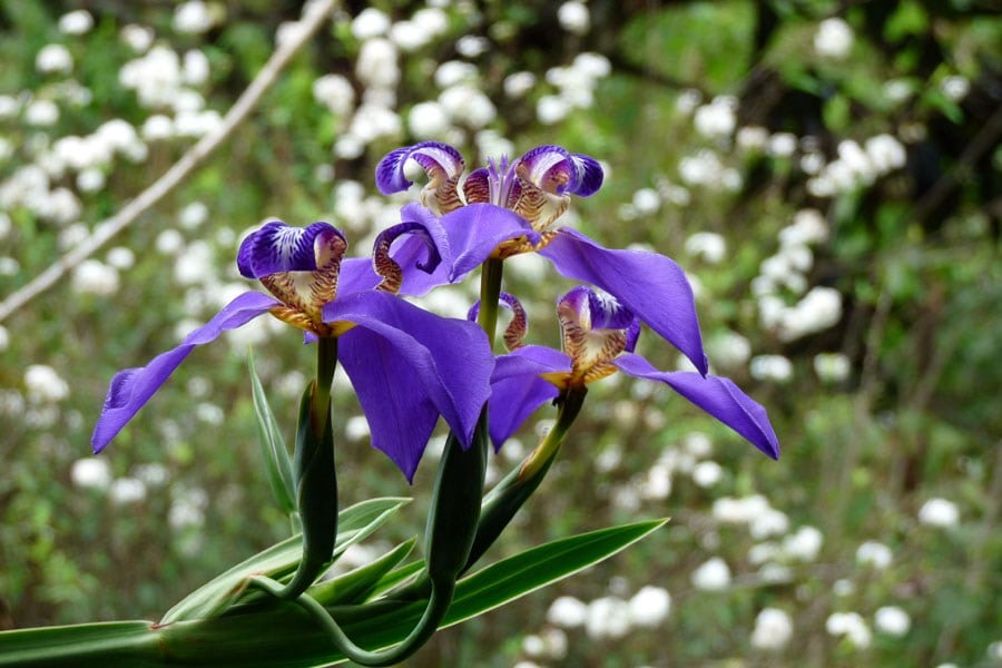 Falso-íris – Neomarica caerulea