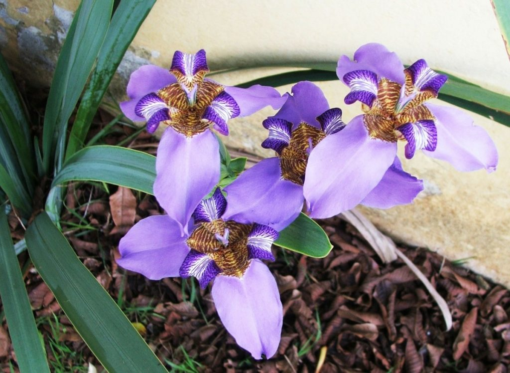 falso iris flor 44