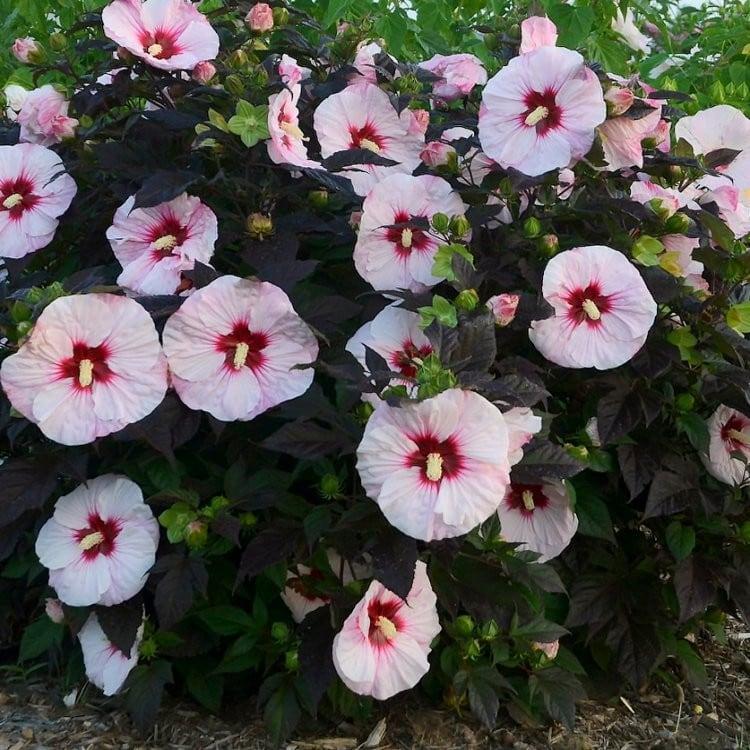Hibisco (Hibiscus moscheutos)