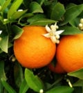 two oranges on orange tree