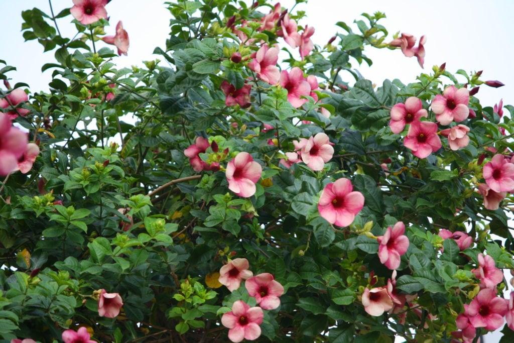 Alamanda-roxa – Allamanda blanchetti