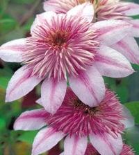 clematis flor 34