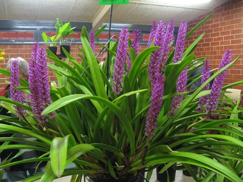 Arpophyllum giganteum - Orquídea-escova-de-mamadeira