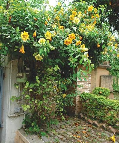Solandra-amarela – Solandra maxima foto