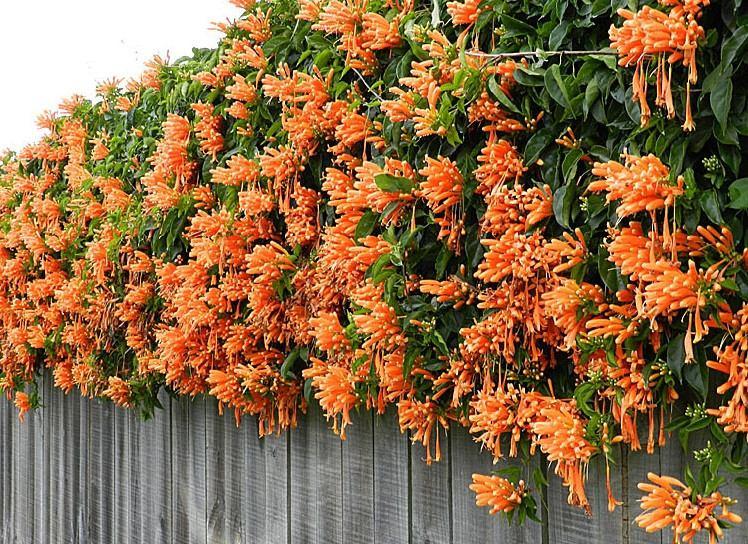 Flor-de-São-João - Pyrostegia venusta