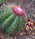 coroa de frade flor 435