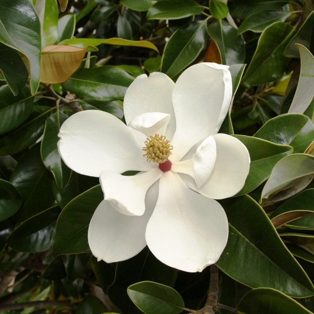 magnolia grandiflora 55
