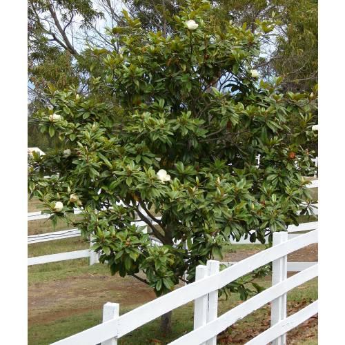 magnolia - Magnólia