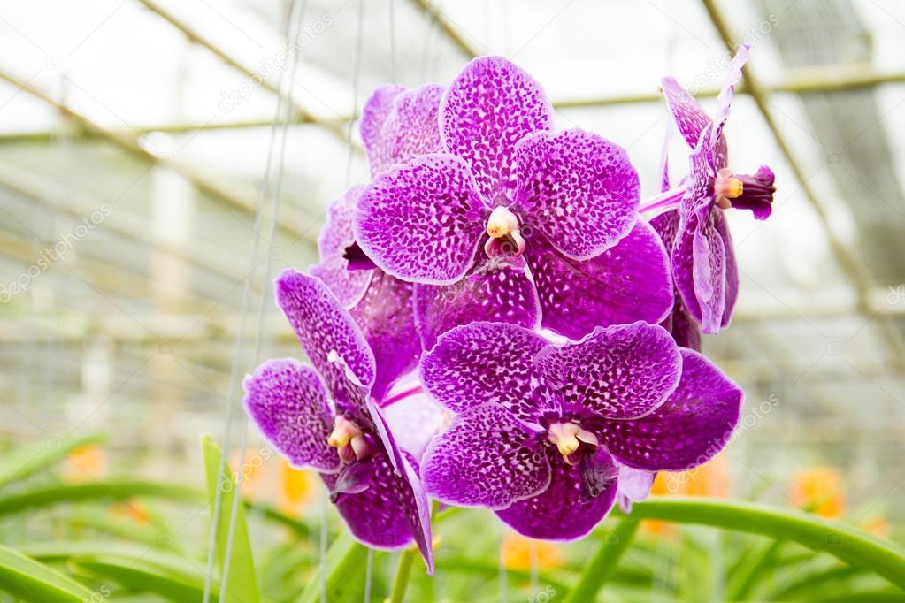 orquidea vanda foto 78