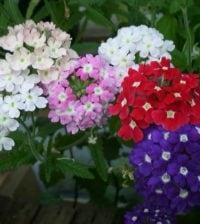flor da fortuna foto 89