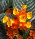 begonia negra foto 55