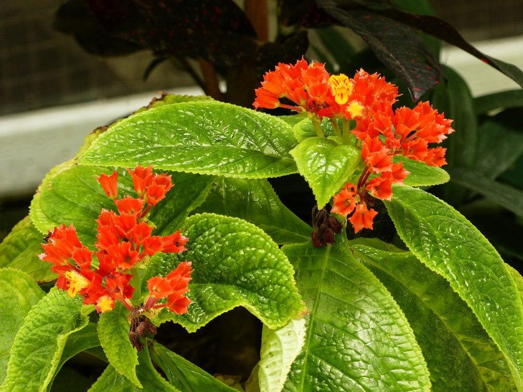 Begonia-negra – Chrysothemis pulchella