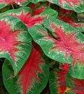 caladium bicolor 100