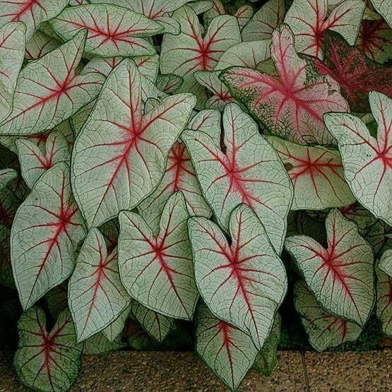 Caládio – Caladium bicolor