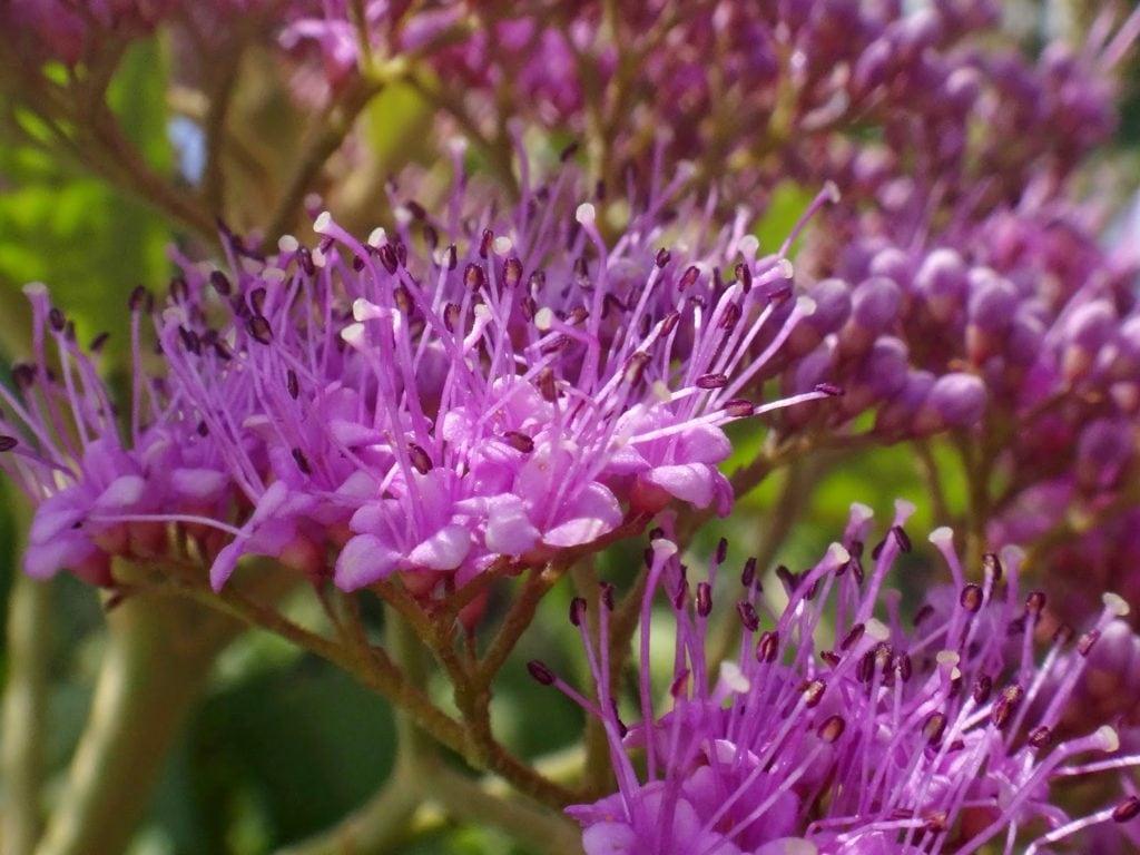 Calicarpa-chinesa – Callicarpa nudiflora
