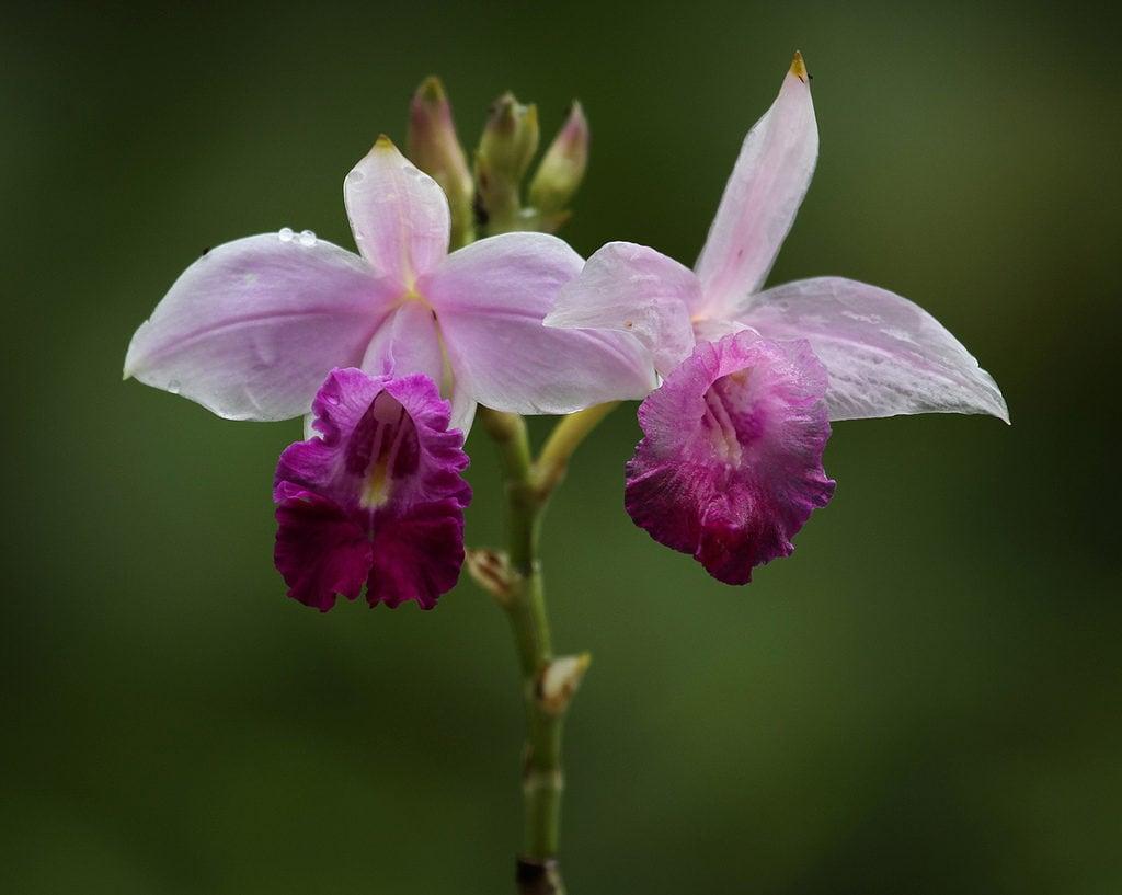 Orquídea bambu – Arundina graminifolia